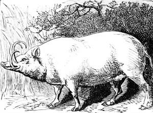 Malayan Wild Hog