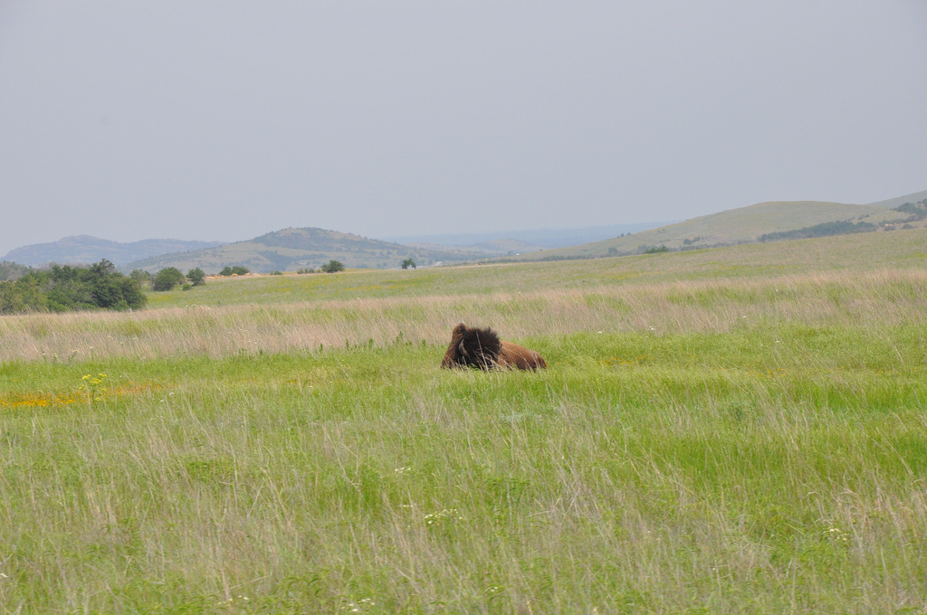 Bison @ Wichita Mtn Wildlife Refuge, photo by Natalie Dobbs
