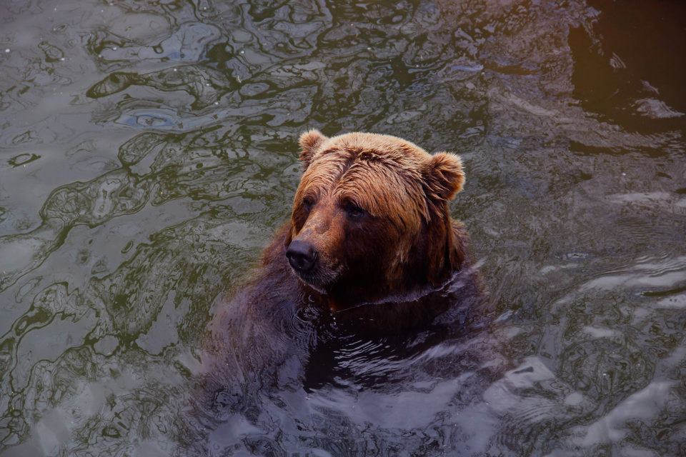 Bear at the OKC Zoo- Photo by Helen Grant