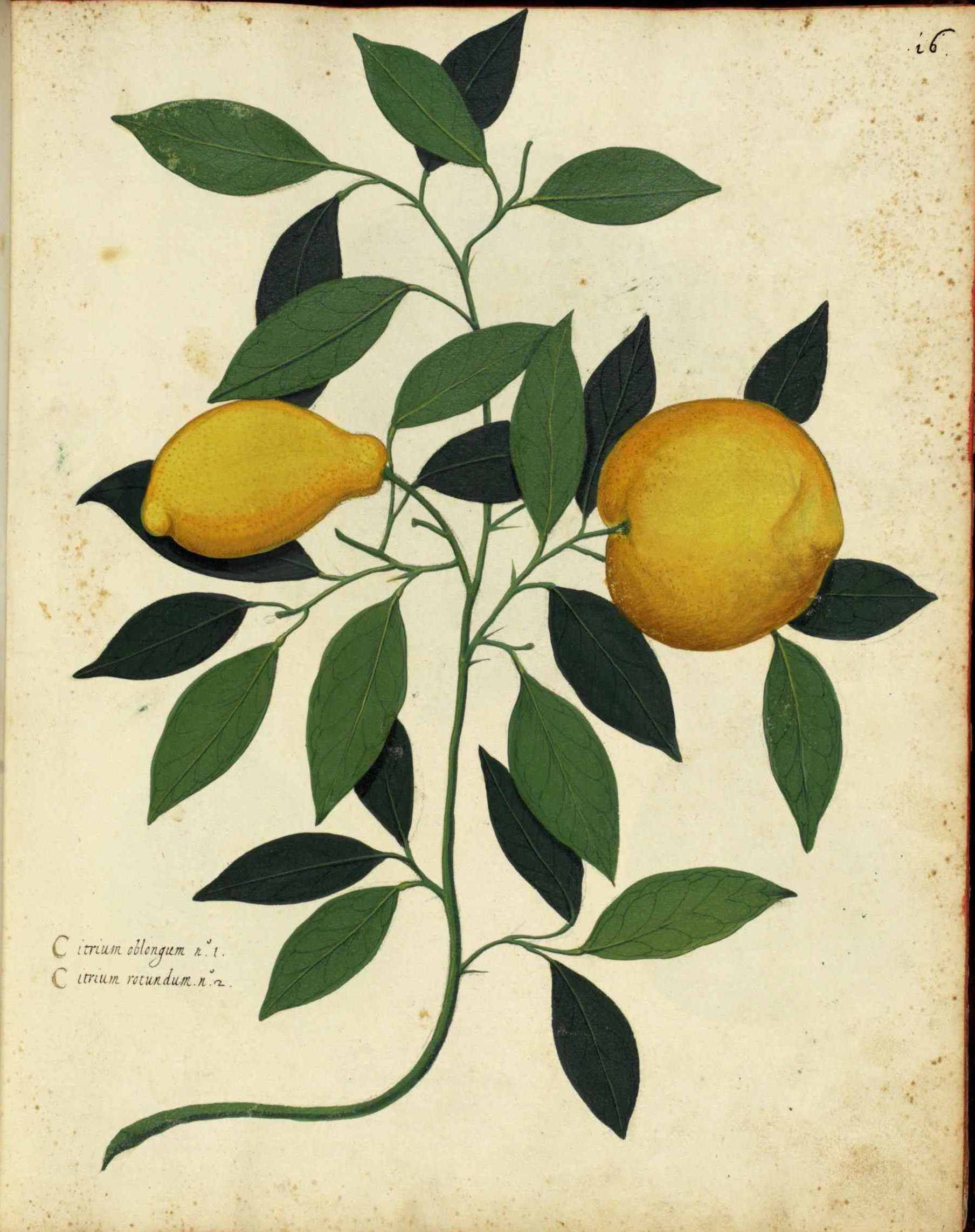 Botanical-Fruit-Lemon-Italian